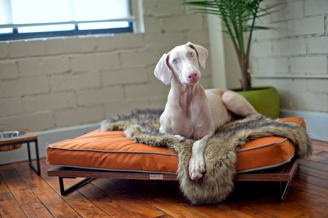 Dog on daybed